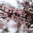 Thundercloud cherry plum tree