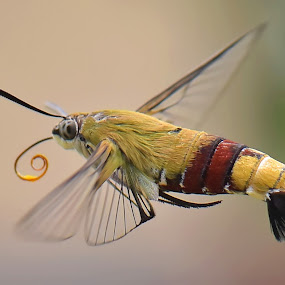 HummingBird Moth by Balox Berhati Nyaman - Animals Insects & Spiders ( macro, fly, insects, natural, moth, closeup )