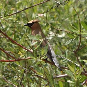 Cedar waxwing.  Great hair do.  Feather do. by Falina Skinner - Animals Birds