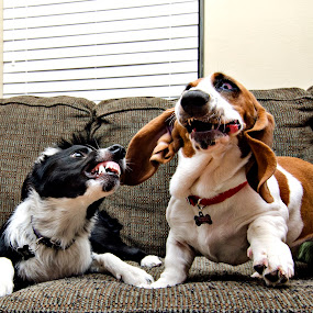 Fierce Fly and Lily by Michael Kerby - Animals - Dogs Playing ( ah!, playing, couch, border collie, play fighting, basset hound, teeth )