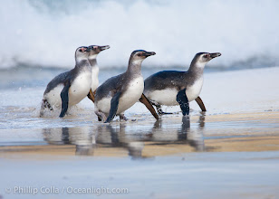 "Photo: Magellanic penguins, coming ashore on a sandy beach.  Magellanic penguins can grow to 30"" tall, 14 lbs and live over 25 years.  They feed in the water, preying on cuttlefish, sardines, squid, krill, and other crustaceans"