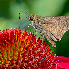 Butterfly on Red Flower by Carl Albro - Animals Insects & Spiders ( butterfly, insect, flower, red flower )