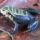 Knudsen's frog
