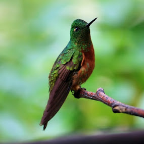 Hummingbird in Amazon by Karen Coston - Novices Only Wildlife ( single bird, look up, speed stands still, hummingbird, amazon,  )