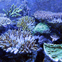 Coral Wallpapers icon