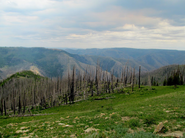Pines burned by the 2012 Seeley Fire