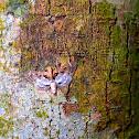 Moth on Bark