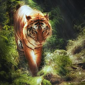 Tiger by Khomzin Arief - Animals Lions, Tigers & Big Cats ( tiger, digital art, animal )