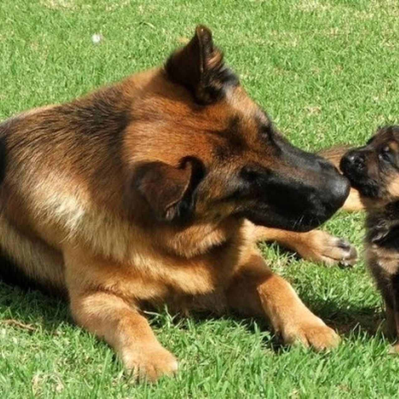 Satish Datta Kennles - Dog Kennles in Hyderabad