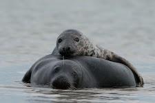 zeehond met jong op de rug