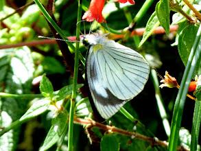 Photo: TWO-HEADED GREEN-EYED (TOVARIA) WHITE--leptophobia tovaria--EL ARRAYAN