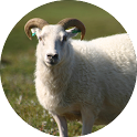 Sheep Sounds icon