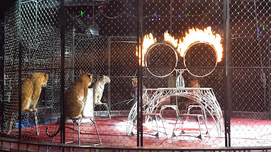 Photo: the tigers about to go through rings of fire