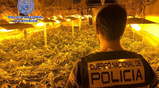 Desmantelan una plantación de marihuana con casi 400 plantas en la Juaida