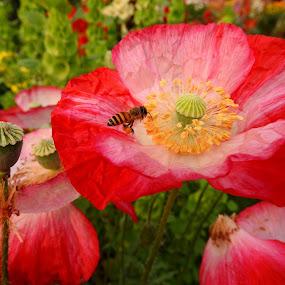 HONEY BEE ON FLOWER by Ajit Kumar Majhi - Flowers Flowers in the Wild ( #flowers, bee_flower, red flower, nature, honey bee,  )