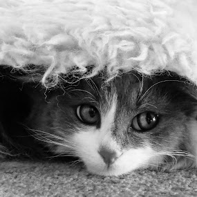 amber at play by Theo Collett - Animals - Cats Playing ( black & white photography, cats & kittens, eyes,  )