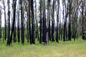 Photo: Year 2 Day 160 - Charred Trees from the Victoria Fires of 2 Years Ago #2