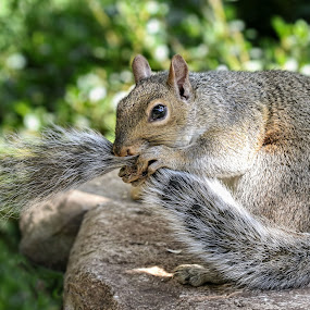 Tail's Tale by Kathy Jean - Animals Other Mammals ( squirrel, mammal, animal, squirrel biting tail, squirrel grabbing tail,  )