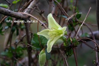 Photo: ΚΛΗΜΑΤΙΣ Η ΒΟΣΤΡΥΧΩΔΗΣ (ΑΓΡΙΟΚΛΗΜΑ) clematis cirrhosa Αειθαλής αναρριχώμενος θάμνος με ξυλώδεις βλαστούς και φύλλα λεία, πριονωτά. Φυτό της νότιας Ελλάδας, από την Στερεά και νοτιότερα, και των νησιών. Άνθηση καταιγιστική με κωδωνοειδή λευκοκίτρινα άνθη από τον Οκτώβριο μέχρι τον Φεβρουάριο, ανάλογα την περιοχή. Φυτρώνει σε φράχτες, μέσα ή κοντά σε οικισμούς και στις άκρες χωραφιών