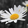 Chamomile in the morning dew APK