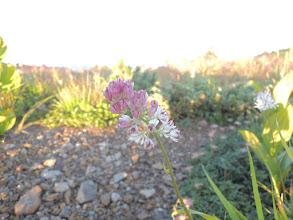 Photo: イワショウブ 花は白いが実はピンク