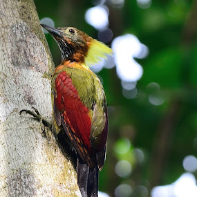 Checker-throated Woodpecker by Azmi Jailani - Animals Birds