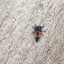 Lady Bug Larvae