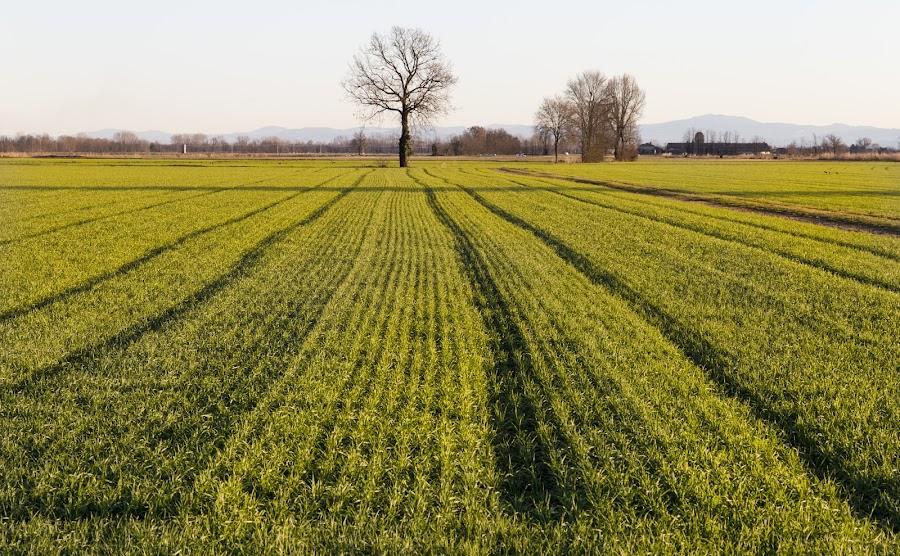 Winter rice field in Pianura Padana by Pietro Ebner - Landscapes Prairies, Meadows & Fields ( padana, rice, winter, tree, green, pianura )