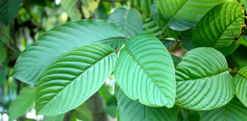 Kratom Effects: Top Positive And Negative Effects