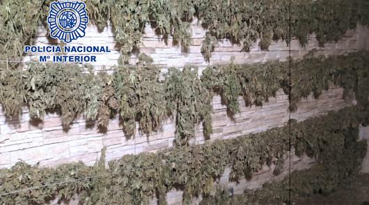 Desarticulan en Pescadería un clan familiar dedicado al cultivo de marihuana