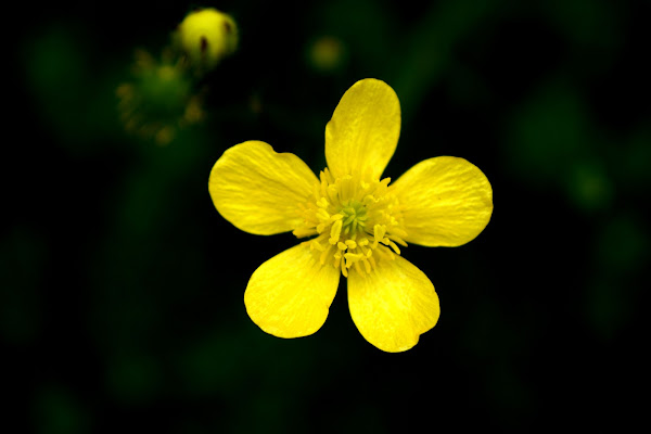 Fiore di Maria Luisa