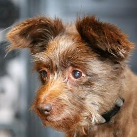 Schokolina by Carola Mellentin - Animals - Dogs Portraits (  )