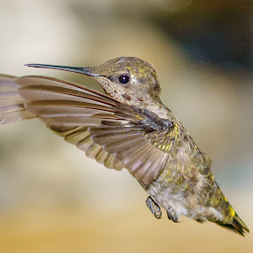 Anna's Hummingbird in Flight by Lee Davenport - Animals Birds