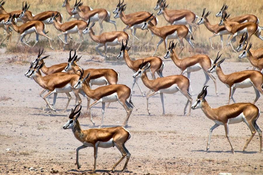 springbok by Olivier Tabary - Animals Other Mammals ( etosha, troupeau, springbok, gazelles, afrique, namibie, désert )