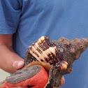 Giant Florida Conch