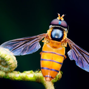 Illusion by Anthony kei c Wong - Animals Insects & Spiders ( episyrphus, hover fly )
