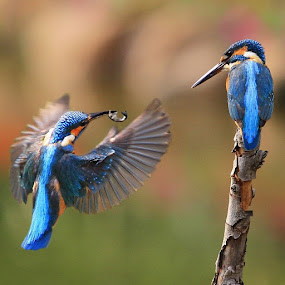 by Projit Roy Chowdhury - Animals Birds ( pwcmovinganimals, fantastic wildlife )