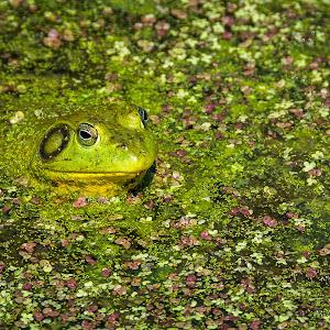 E:\facebook\Untitled Export\frog-7955-3.jpg