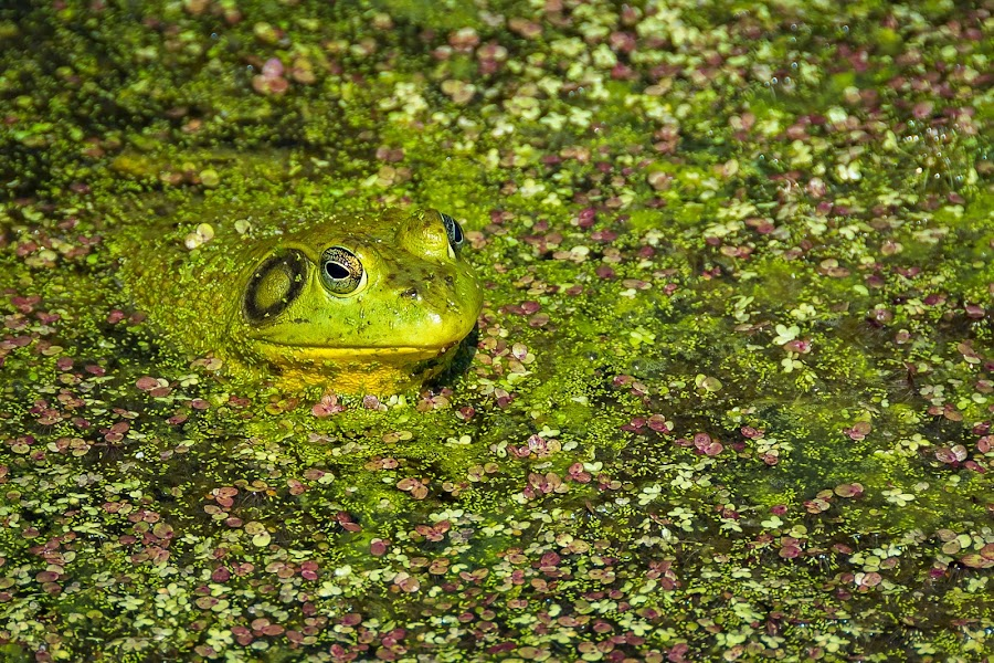 Camouflage by Brad Bellisle - Animals Reptiles ( frog, green, reptile,  )