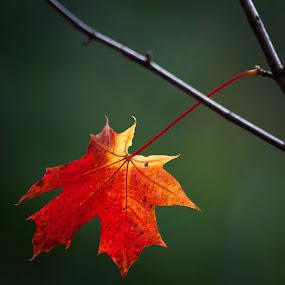 Last leave by Eriks Zilbalodis - Nature Up Close Leaves & Grasses ( orange, leave, nature, autumn, green, latvia, erikszphoto )