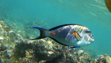 Photo: на аравийскую рыбу-хирурга можно натолкнуться прямо у понтонов на пляже