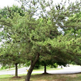 Pine tree by Maricor Bayotas-Brizzi - Nature Up Close Trees & Bushes