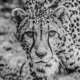 Cheetah by Garry Chisholm - Black & White Animals ( nature, mammal, big cat sanctuary, cheetah, garry chisholm )