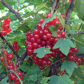 Red Berries  by Janet Skoyles - Nature Up Close Other plants (  )