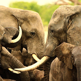 Elephants by Kurt Haas - Animals Other Mammals ( beautiful, mammals, elephants, wilderness, beauty in nature, wild, nice, national geographic, national parks )
