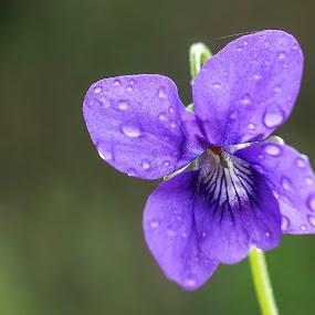 violeta by Lourdes Ortega Poza - Flowers Flowers in the Wild ( gotas, naturaleza, violeta, flor, lluvia )