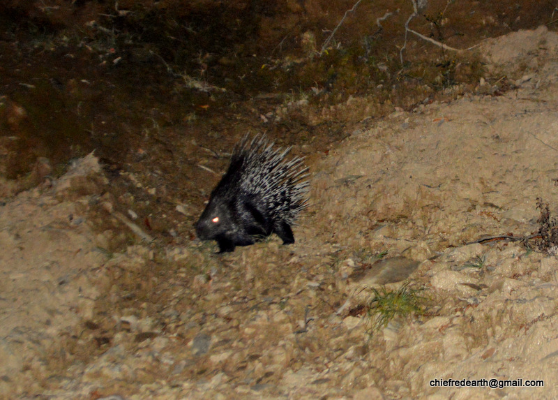 Himalayan porcupine (Hystrix brachyura)