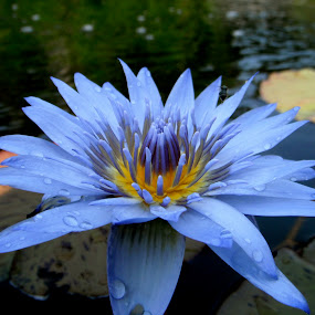 by Ryan Bunting - Nature Up Close Flowers - 2011-2013 ( lily, blue, tropical, yellow, pond )