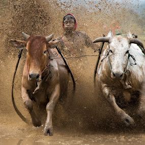Pacu Jawi (cows racing) by Teddy Winanda - News & Events Sports ( west sumatera tourism, cow race, cow races, pacu jawi, cows racing, animal, motion, animals in motion, pwc76 )