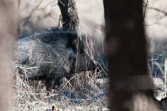 Photo: Javelina in Turkey Creek Canyon, Chiricahua Mountains